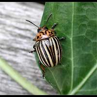 Photograph of a leaf beetle