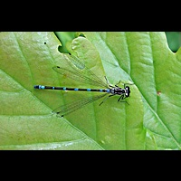 Photograph of Coenagrion pulchellum, male
